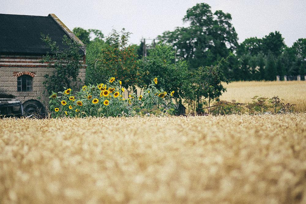 Raccogliere girasoli in un campo